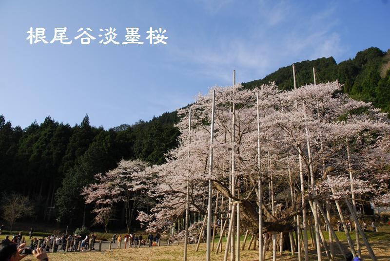 昨年は4月9日に行っていました コチラ 昨年は風が吹くと花びらがひらひ...  岐阜をのんびり