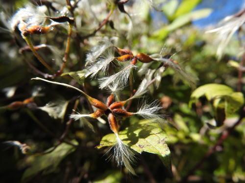 高ボッチ高原・鉢伏山で最近見る事の出来る実・種 ボタンヅル(牡丹蔓)