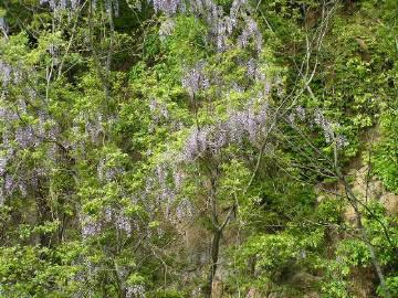 湯村山の藤の花