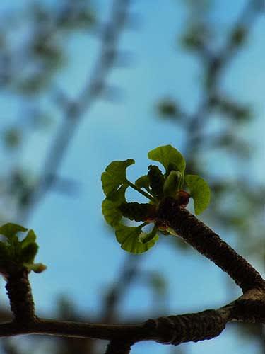 小さい銀杏の葉って初めてみたかも