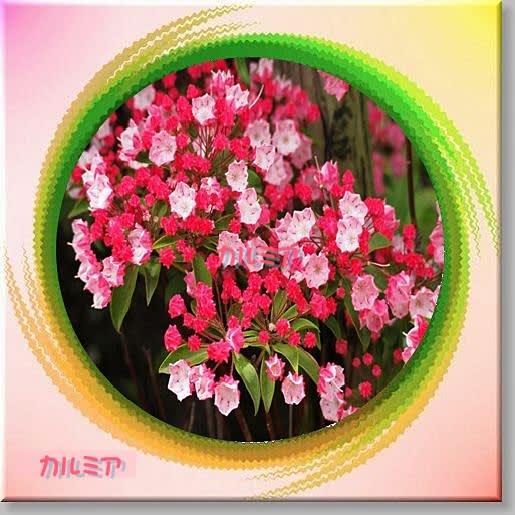 すべての折り紙 折り紙 梅 : 庭の花 カルミア - ミルちゃん ...