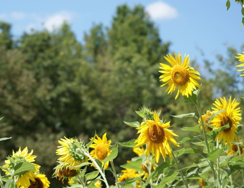 Shining_sunflowersjpg2