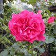 2006-5-29-1 ツル薔薇(名なし)