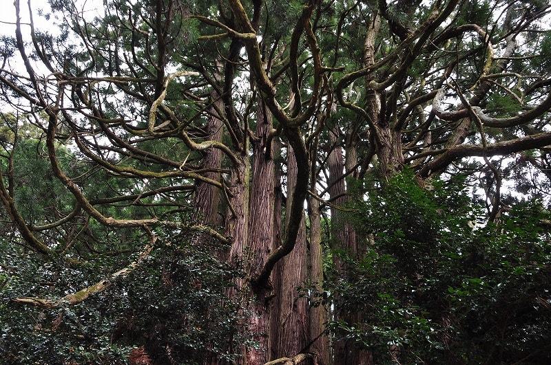 高井の千本杉の枝幹
