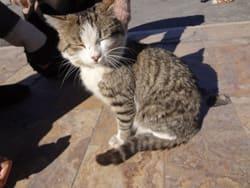 トルコの猫 - 上海てんやわんや...