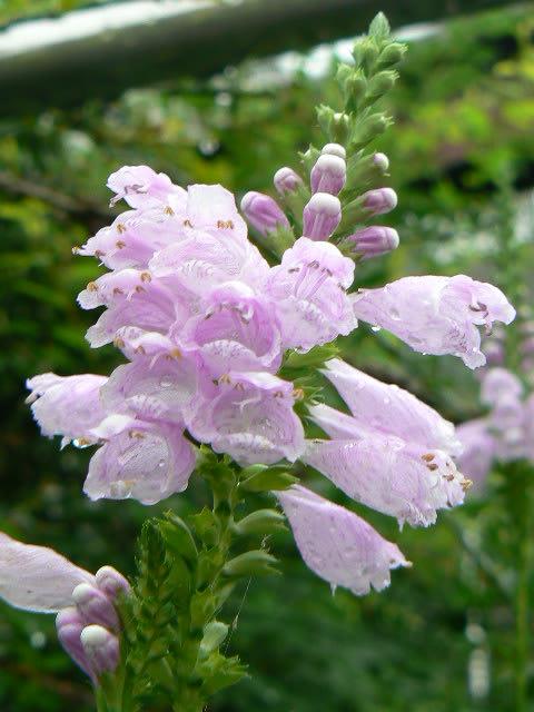 ハナトラノオ(花虎の尾)/カクトラノオ(角虎の尾) - peaの植物図鑑 ブログ ログイン ラン