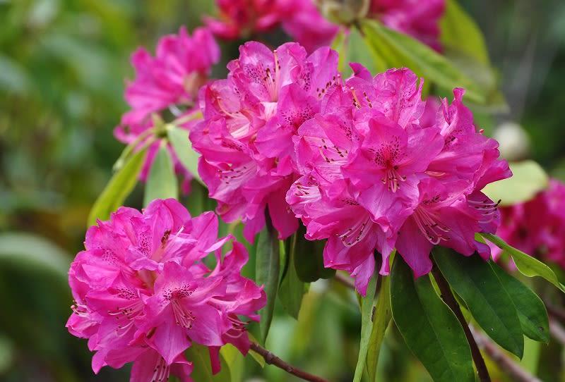 弁財天石楠花の丘花
