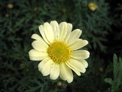 マーガレット (植物)の画像 p1_14