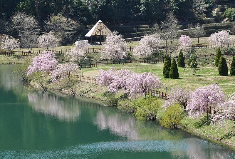 平成榛原子供の森公園桜