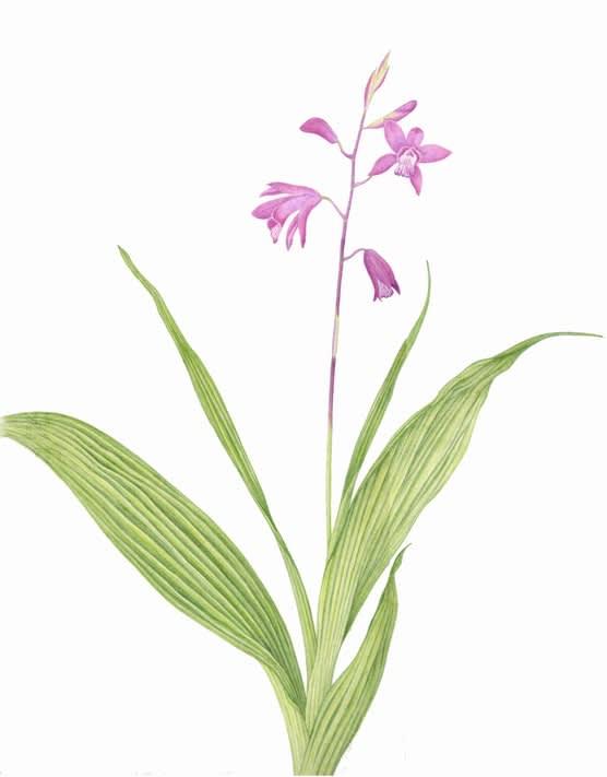 シラン (植物)の画像 p1_39