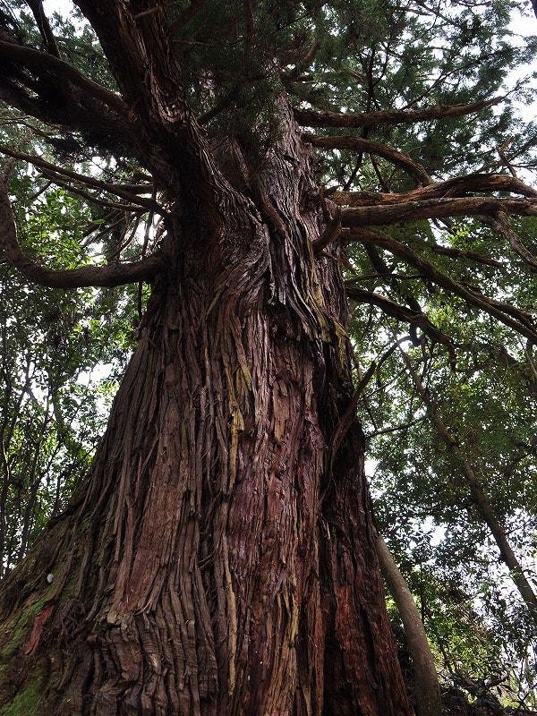 才谷の一本杉