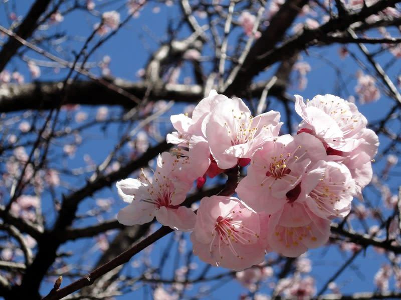 03月27日 境内の梅