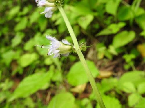 高ボッチ高原・鉢伏山で最近咲いている花 ミヤマタムラソウ(深山田村草)