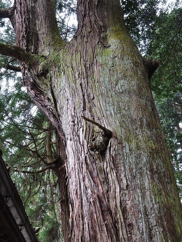 伊豆神社の大杉幹