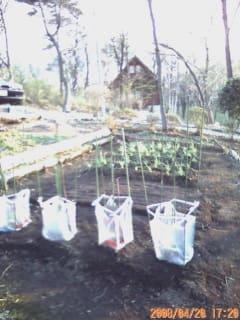 ピーマン、シシトウの苗を植える