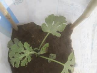 小玉西瓜の移植し行燈を設置 丸オクラの定植 夏日の中、茶の木剪定は半日がかりでした スナップエン