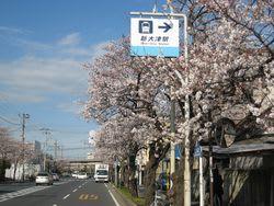 久里浜街道の桜