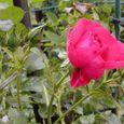 2006-5-28-13 ツル薔薇(名なし)