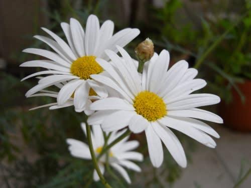 マーガレット (植物)の画像 p1_16