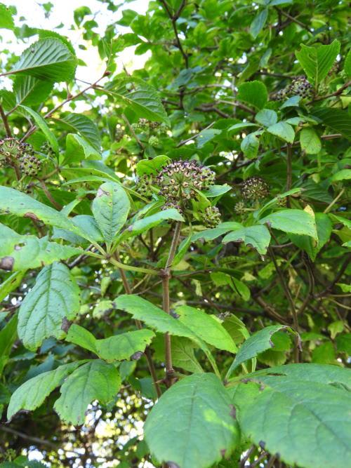高ボッチ高原・鉢伏山で最近咲いている花 ケヤマウコギ(毛山五加)