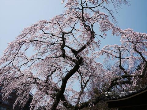 有馬温泉 善福寺の桜