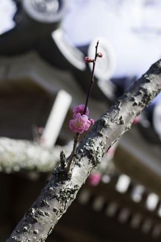 林渓寺の「未開紅」が咲き始めました。