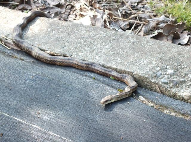 シマヘビの画像 p1_32