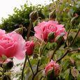 2006-5-31-3 思い出の初薔薇(名なし)
