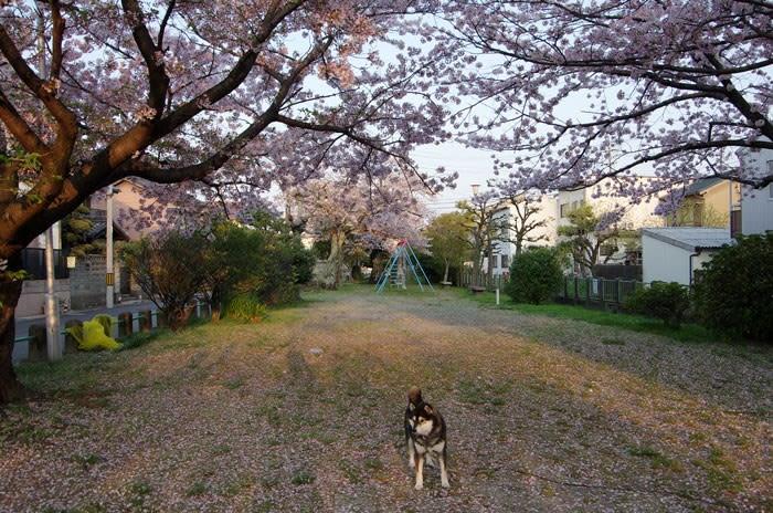 桜が咲く児童公園