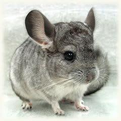 チンチラ(齧歯目チンチラ科) ネズミの仲間です。 原産は南アメリカのアンデス山脈。 ゴツゴツした岩肌をぴょんぴょん飛び跳ねていたのでしょうね。