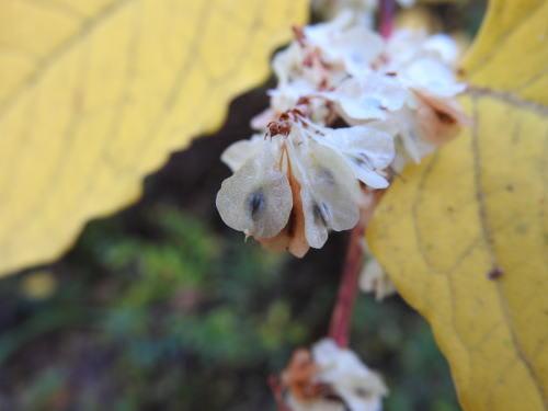 高ボッチ高原・鉢伏山で最近見る事の出来る実・種 イタドリ(虎杖、痛取)