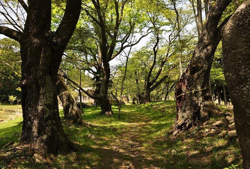 三多気の桜並木道