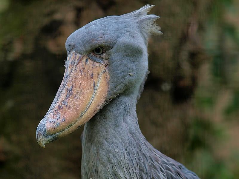 上野動物園で撮ったハシビロコウと比較して、目の上が張り出している。 だから鋭い目つきになるのだろうか。 ( トップ写真も )