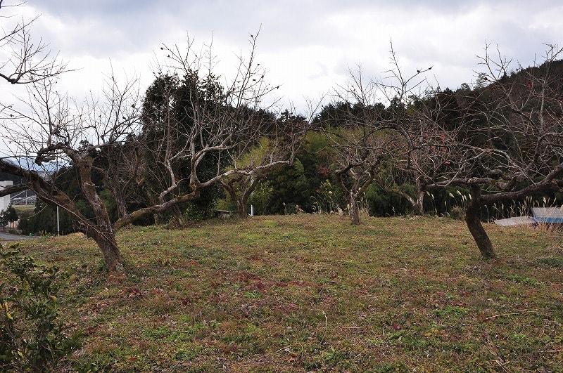柿に木が植わる塚山古墳の平坦な墳頂