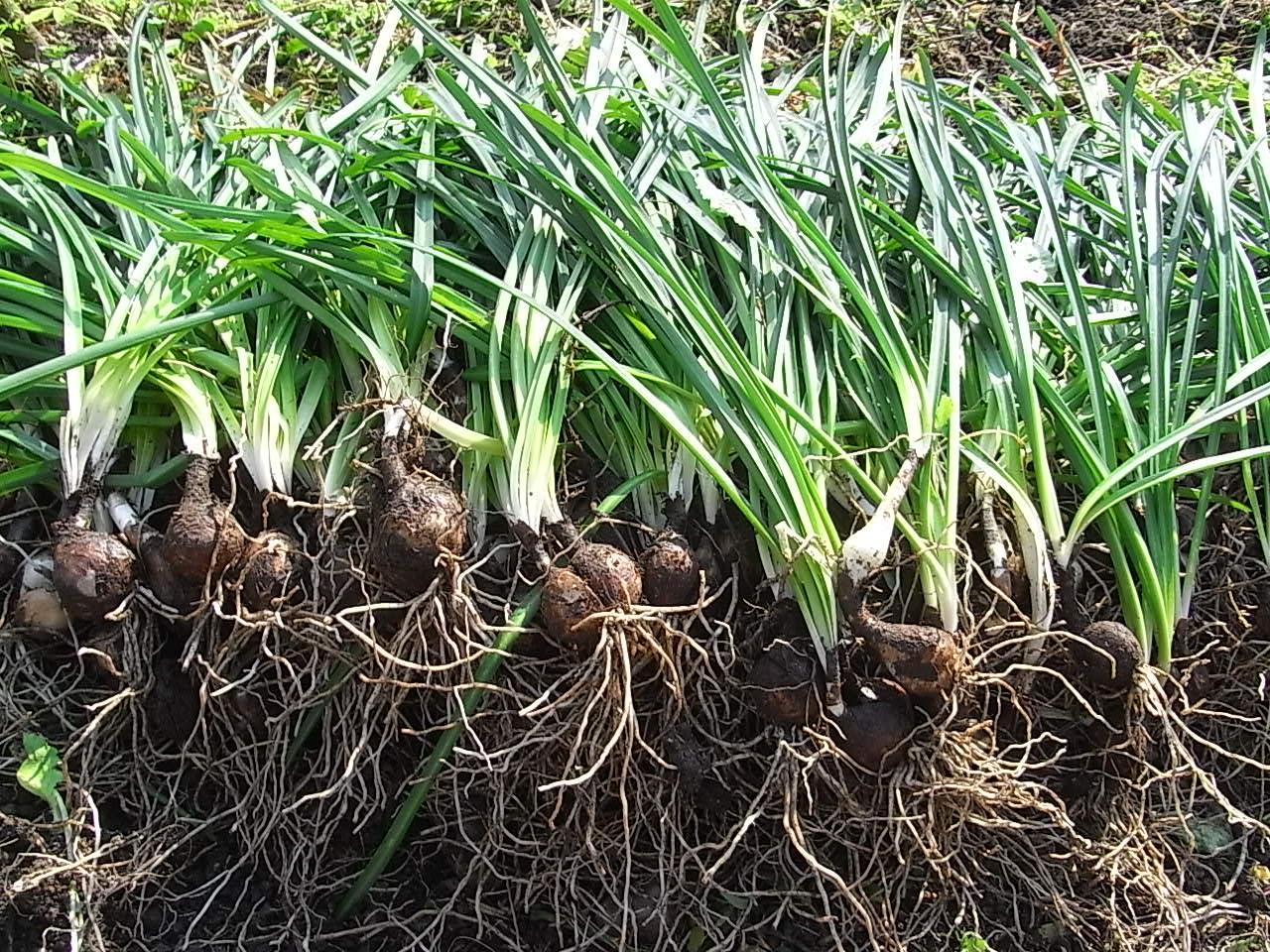 昔、彼岸花の球根は、飢饉のときの救荒植物だったらしいのですが、 分けてみたら、一株から100玉以上にもなりました。