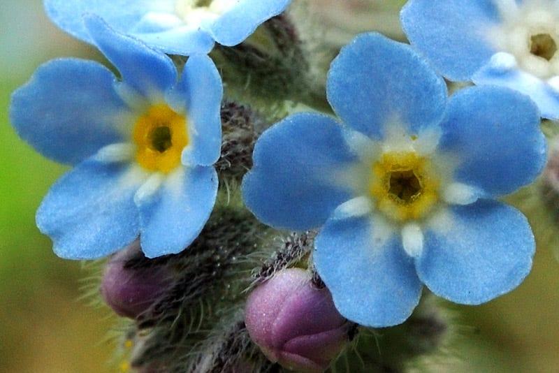 ワスレナグサの画像 p1_18
