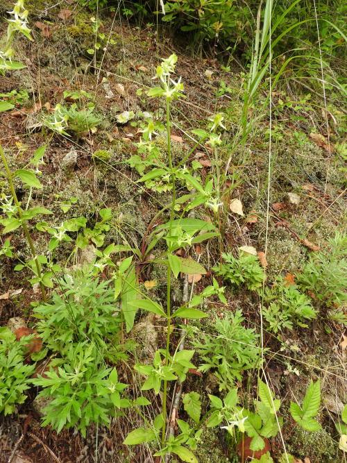 高ボッチ高原・鉢伏山で最近咲いている花 ハナイカリ(花錨)