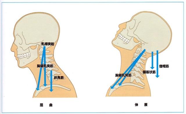 頸部の伸展時の痛みの原因はここも考えてみて下さい。 - 勤務 ...