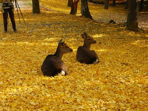 「紅葉の奈良公園」