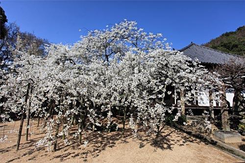 「乳母桜」は「姥桜」と書かれることもあり、最近では「うば桜」と書かれて... 輝く愛媛の『旬』情