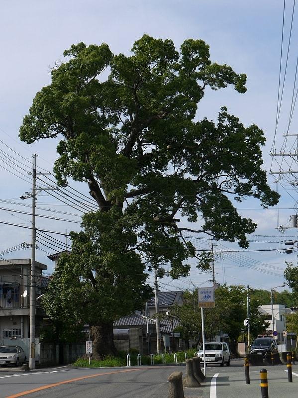 大職冠の楠の巨樹