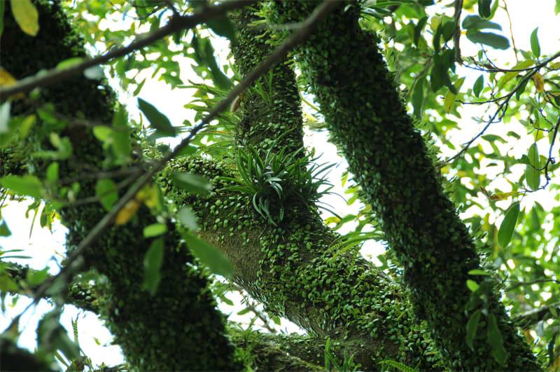 マメヅタと苔の中に着いてるのから 苔すら生えてない木に着いているのも。... 久礼の神社のフウラ