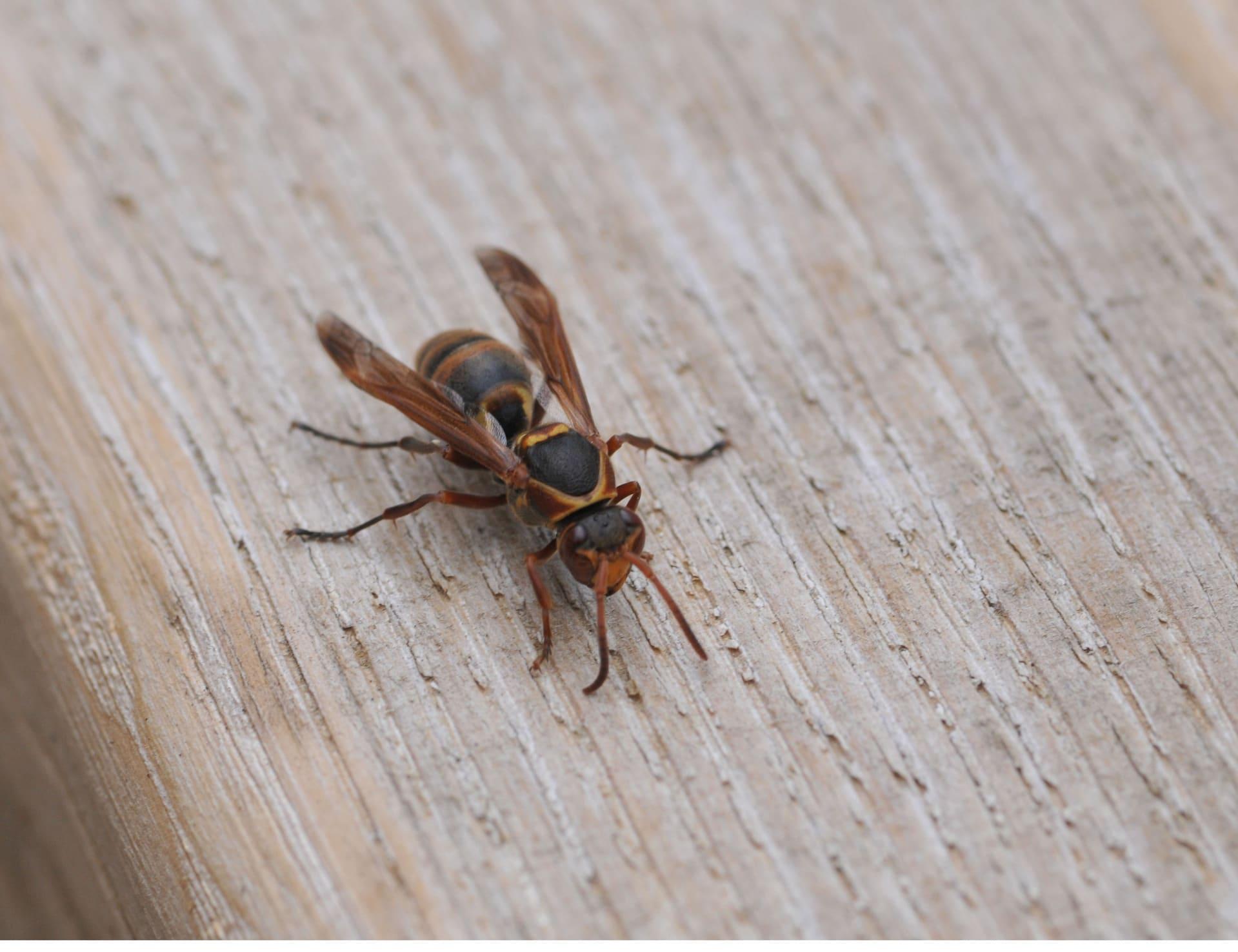 アシナガバチの画像 p1_34