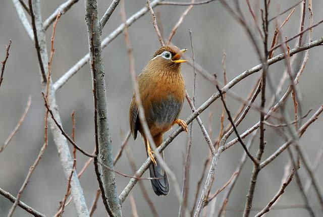1月5日の「北本自然観察公園」から「ガビチョウ」(外来種)④ 1月5日... 野鳥・・・「ガビチ
