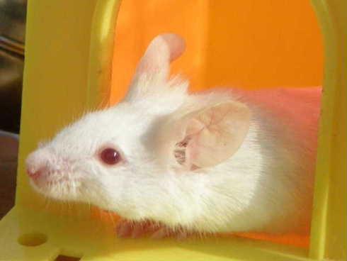 ハツカネズミの画像 p1_23