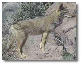 ニホンオオカミの画像 p1_6