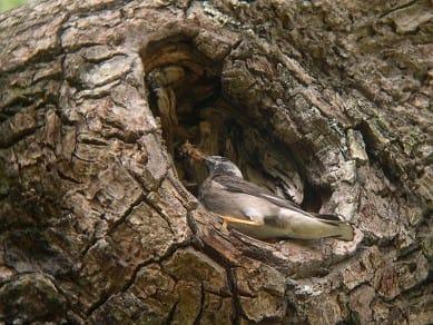 毛虫を食べるムクドリ