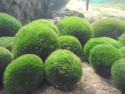阿寒湖のチュウルイ島 マリモ(毬藻)
