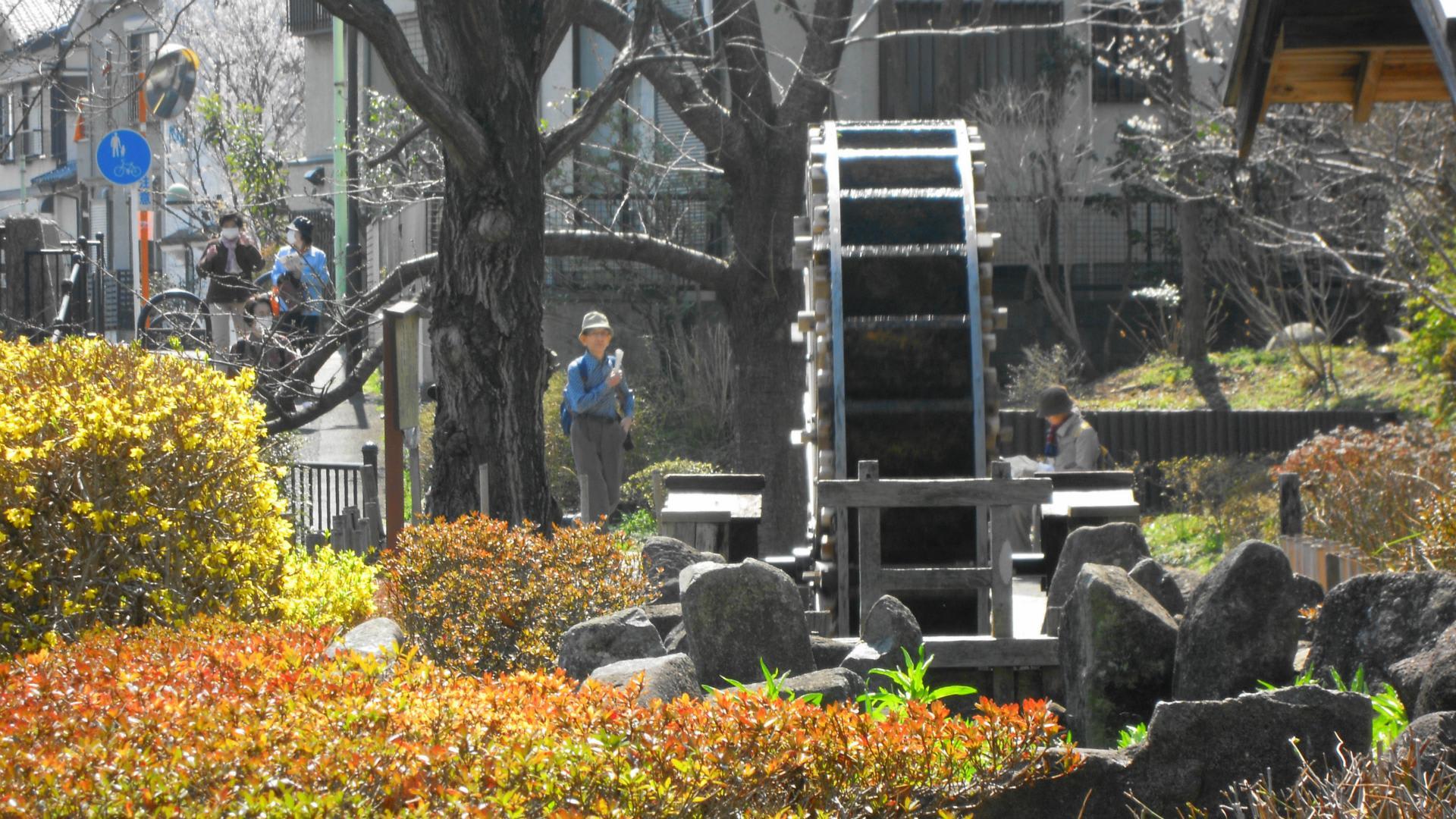 小金井公園・武蔵野公園の大寒桜・寒緋桜 - 晴れた休日は ...