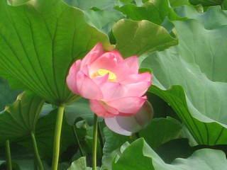 「蓮の花5」